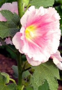 A pink hollyhock blooms in the Roosevelt Growhouse gardens. (Photo: Fara Illich)